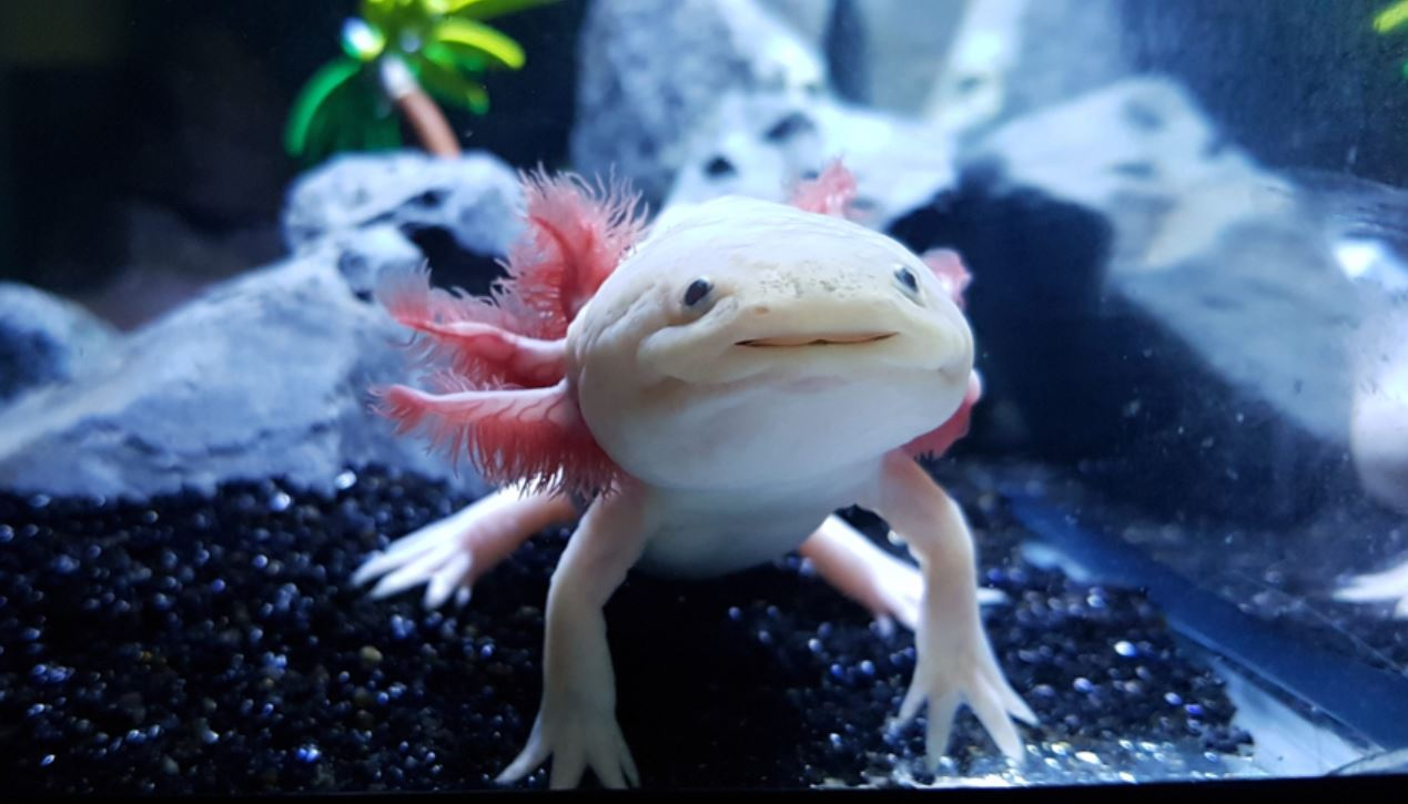 Axolotl Pictures
