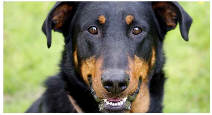Beaucerons 3