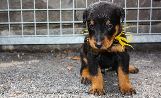 Beaucerons 8