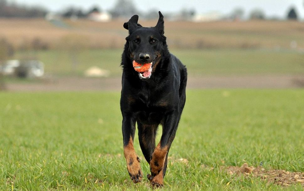 Beaucerons 9