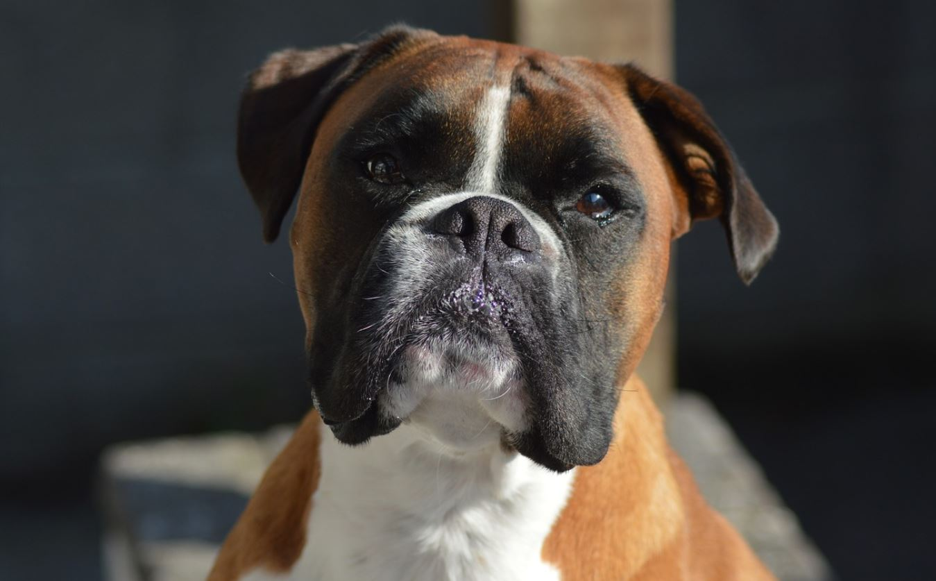 CBD For Boxer Dogs