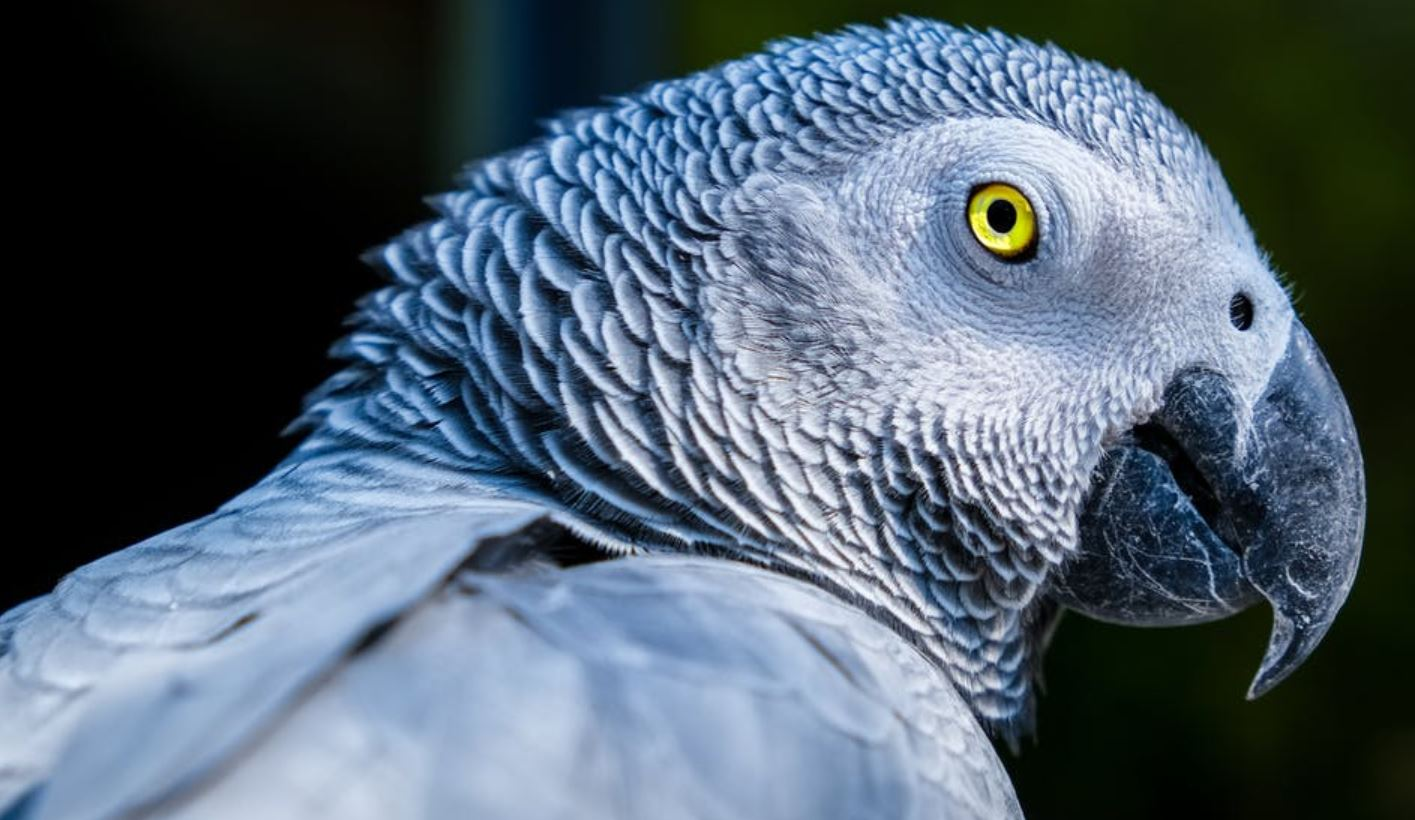 Do African Grey's Make Good Pets – Owners Care Guide & Facts