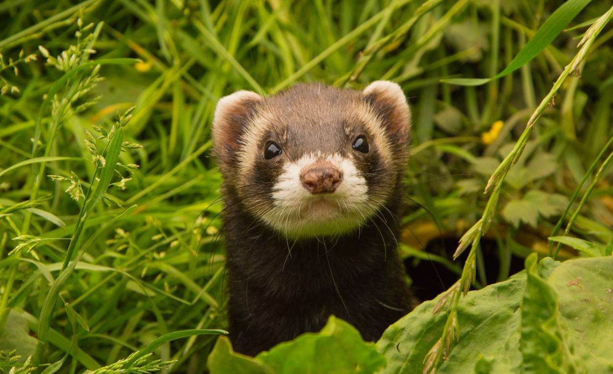 CBD For Ferrets – Is It Safe And Effective
