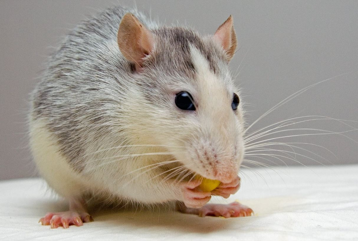 CBD For Pet Rats – Is It Safe And Effective – Must Read Guide